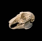 European rabbit Oryctolagus cuniculus skull.