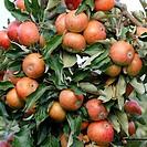 Apple Malus domestica ´Pimona´ showing ripening fruit.