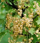 Ripening Whitecurrants Ribes rubrum ´Primus´ in Summer.