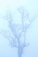bald tree in winter under deep fog