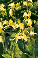 Erythronium ´Pagoda´ flowering in Spring.