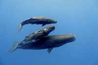 Sperm whales Physeter macrocephalus. The two smaller whales have remora suckerfish attached to them. These toothed whales are found in oceans worldwid...