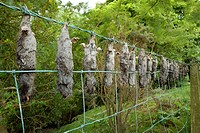 Culled moles. Dead bodies of European moles Talpa europaea hanging on a fence. Moles are woodland insectivores that feed mostly on earthworms. They fo...