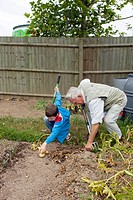 Allotment cultivation. Grandfather and grandson harvesting potatoes Solanum tuberosum in a local authority allotment next to a supermarket. Photograph...