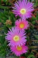 Hottentot Fig Carpobrotus edulis flowering in summer.