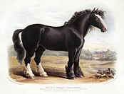 Old English Black Horse. 19th_century artwork of a stallion of the Old English Black Horse, a breed of the domesticated horse Equus caballus. This art...