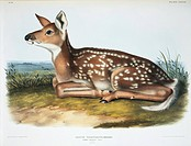 White_tailed deer Odocoileus virginianus fawn. Plate 81 from ´The Viviparous Quadrupeds of North America, Vol. 2´ 1846 by John James Audubon and John ...