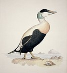 Common eider Somatera mollissma. Plate 7 from ´Watercolour drawings of British Animals´ 1831_1841 by Scottish naturalist William MacGillivray.