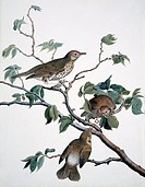 Song thrush Turdus philomelos. Plate 116 from ´Watercolour drawings of British Animals´ 1831_1841 by Scottish naturalist William MacGillivray.
