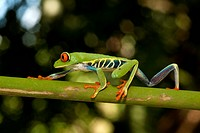 Red_eyed tree frog Agalychnis callidryas. This frog is found in the tropical rainforests of central America, where it lives in trees and other vegetat...