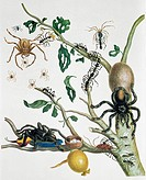 Insects of Surinam. 18th_century artwork showing a tree with ants and spiders. At upper left, in a web with spiderlings, is a huntsman spider Heteropo...