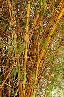 Bamboo plant. Bamboo plants are members of the grass family Gramineae. The woody stems, known as canes or culms, can reach great heights. They are wid...