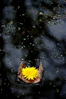 Dandelion flower floating on piece of bark on black water