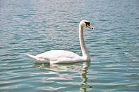 Swan Cygnus olor
