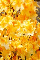 Yellow azalea rhododendron flowers in full bloom