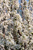 Blossoming plum