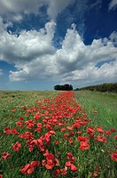 Field Poppies Papaver rhoeas growing in barley crop