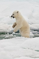 Polar bear cub Ursus maritimus with a piece of ice in its mouth, Svalbard Archipelago, Barents Sea, Norway
