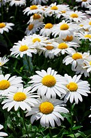 White and yellow large Daisies