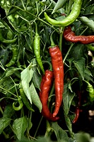 plant red and green hot pepper Capsicum annuum