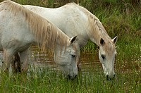 Grazing Camargue horses