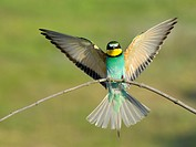 Bee_eater