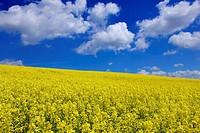 Canola field in springtime