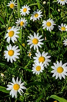 Natual daisies