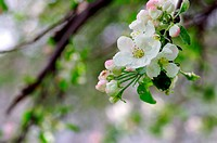 White and pink apple flowers