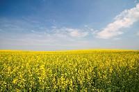 Blühendes Rapsfeld im Frühjahr