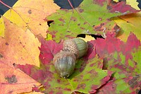 Acorns surrounded by the beautiful Autumn / Fall Colors from the state of New Hampshire, USA, Which is located in New England