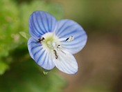 wildflower  Veronica persica, Buxbaums speedwell, Persian speedwell, Spain