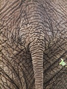 Close up of the backside of an african elephant Loxodonta africana in the Tarangire National Park  Tanzania