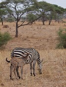 Baby Burchell's Zebra or Plains Zebra Equus burchellii with his mother Tarangire National Park Tanzania