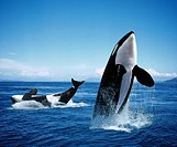 Killer Whale, orcinus orca, Adults Breatching