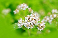 Marjoram flowers close up