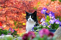 Hauskatze, Europaeisch Kurzhaar, schwarz weiss, zwischen Blueten vor rotem Faecherahorn / Cat, European Shorthair, black white, between flowers in fro...