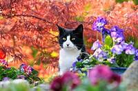 Hauskatze, Europaeisch Kurzhaar, schwarz weiss, zwischen Blueten vor rotem Faecherahorn / Cat, European Shorthair, black white, between flowers in fro...