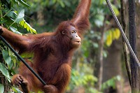 Borneo Orang Hutang