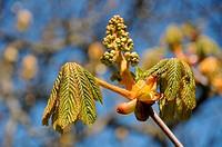 Blüten_ und Blattaustrieb aus Terminalknospe