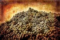 Nebbiolo grapes Piedmont