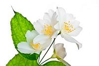 Flower of jasmine isolated on white background.