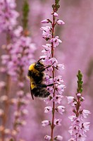 Hummeln Bombus an blühenden Heidekraut, Deutschland, Bumblebees in flowering heather, Germany