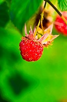 ripe wild raspberries on green blurred