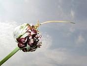 Brutzwiebel des Knoblauchs _ Allium sativum