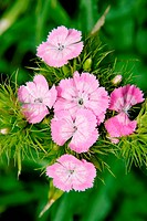 Carnation grass field Dianthus campestris