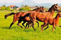 beautiful horse in nature run and have family relatinship
