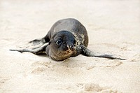 Newborn Sea Lion