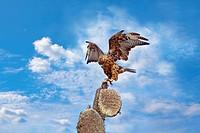 Galapagos Hawk on Santa Fe