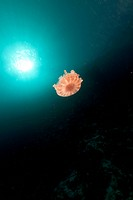 Cauliflower jellyfish in the Red Sea.